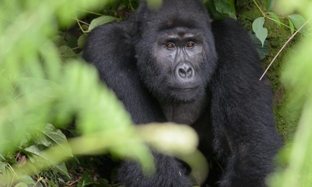 Gorilla Trekking – Up Close with our Cousins