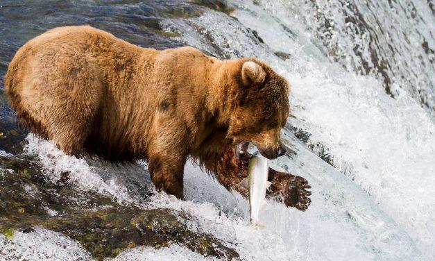 The Salmon Run – Spotting the Alaskan Bears