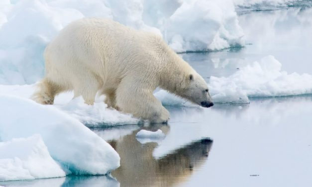 Polar Bears from Churchill to Svalbard the Bears are on Thin Ice