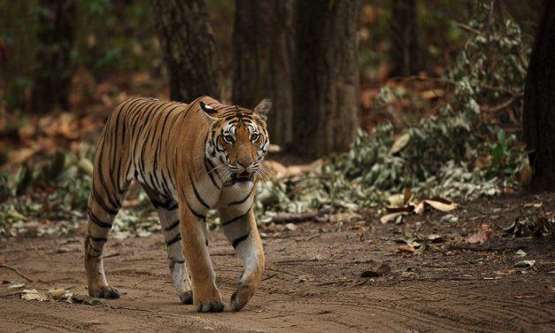 Tiger Spotting – Safari on the Sub-Continent