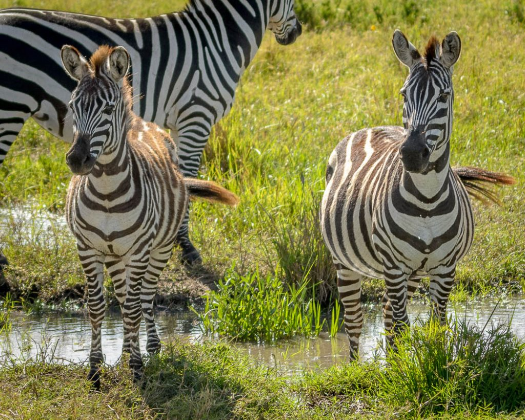Just three of the quarter of a million zebras that make up the Great Migration. The Zebras follow the Wildebeest around the serengeti and the Masai Mara as they eat a different part of the grasses.