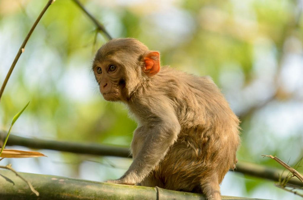 Young Macaque monkey just outside Bardia National Park.