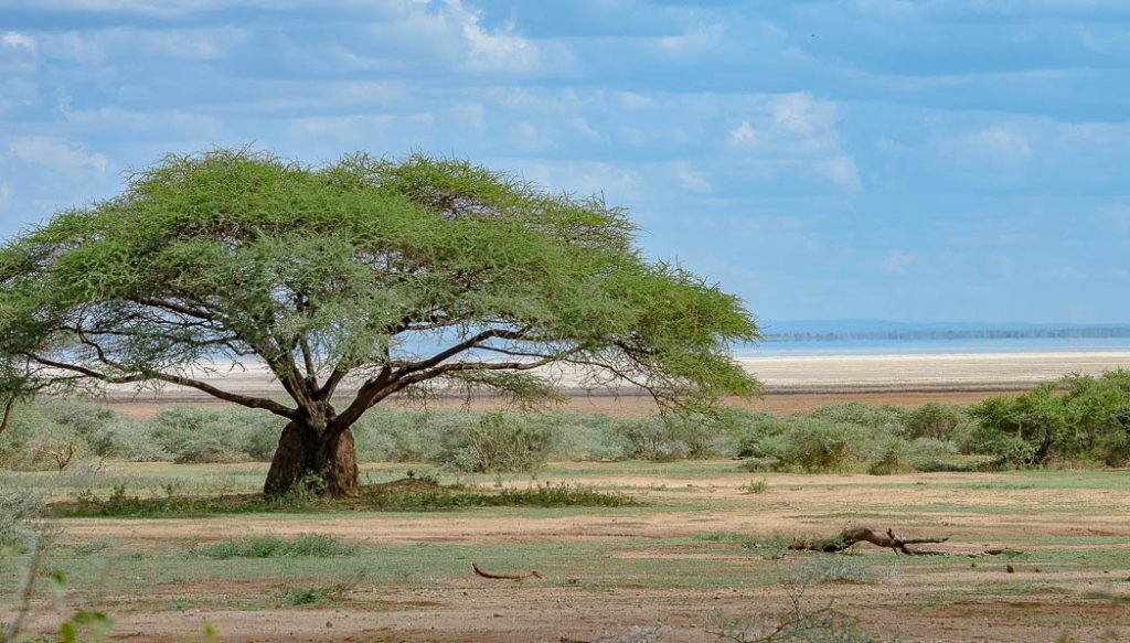 Accacias are typical of the landscape of the East Africa savannah.