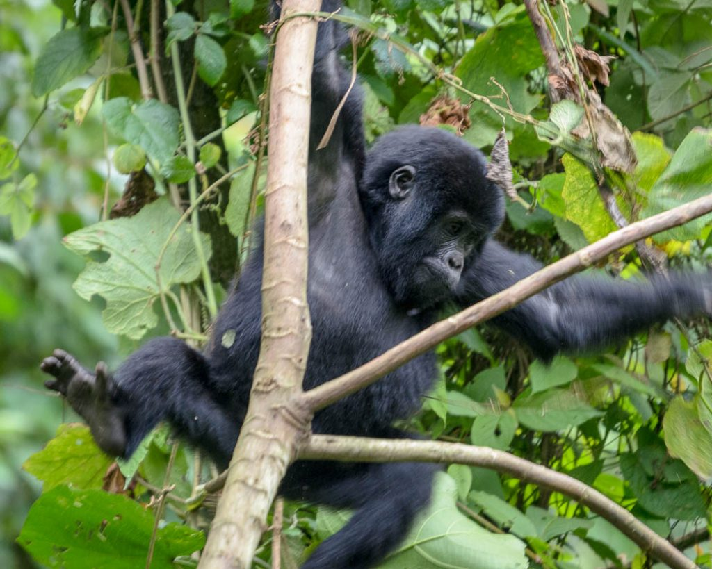 A young mountain gorilla playing in the trees in Bwindi Forest, Uganda.