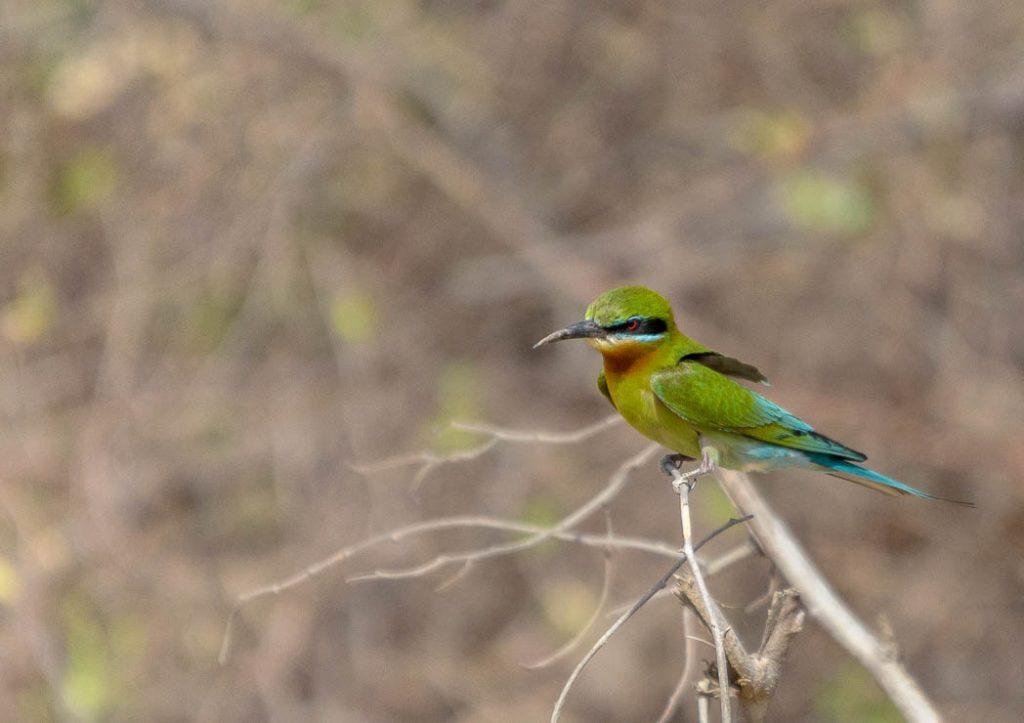 Bee-eater in Jim Corbett National Park, India.
