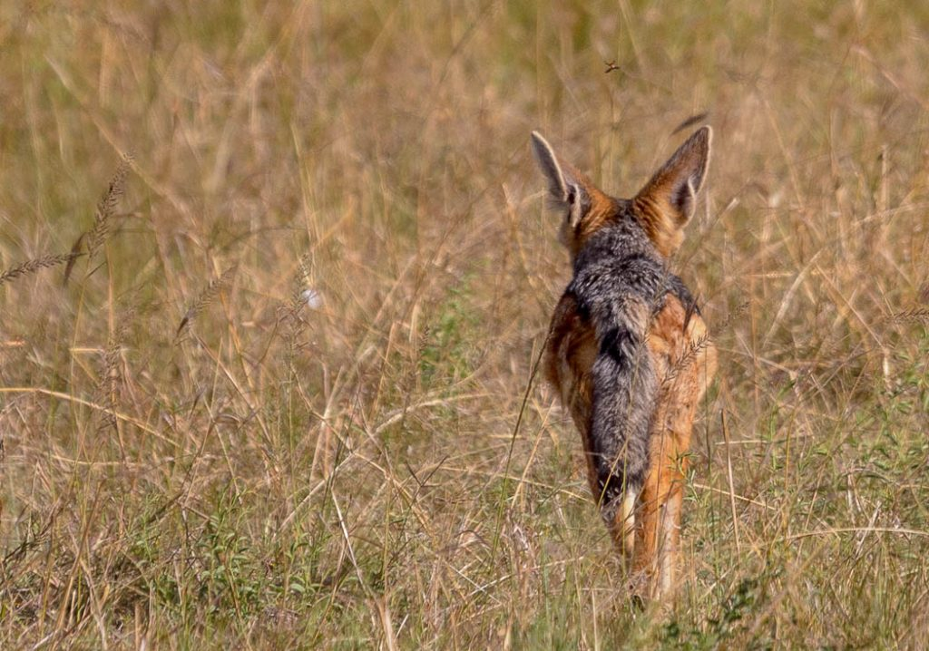 The jackal is one of the oldest canid species, quite similar to a fox.