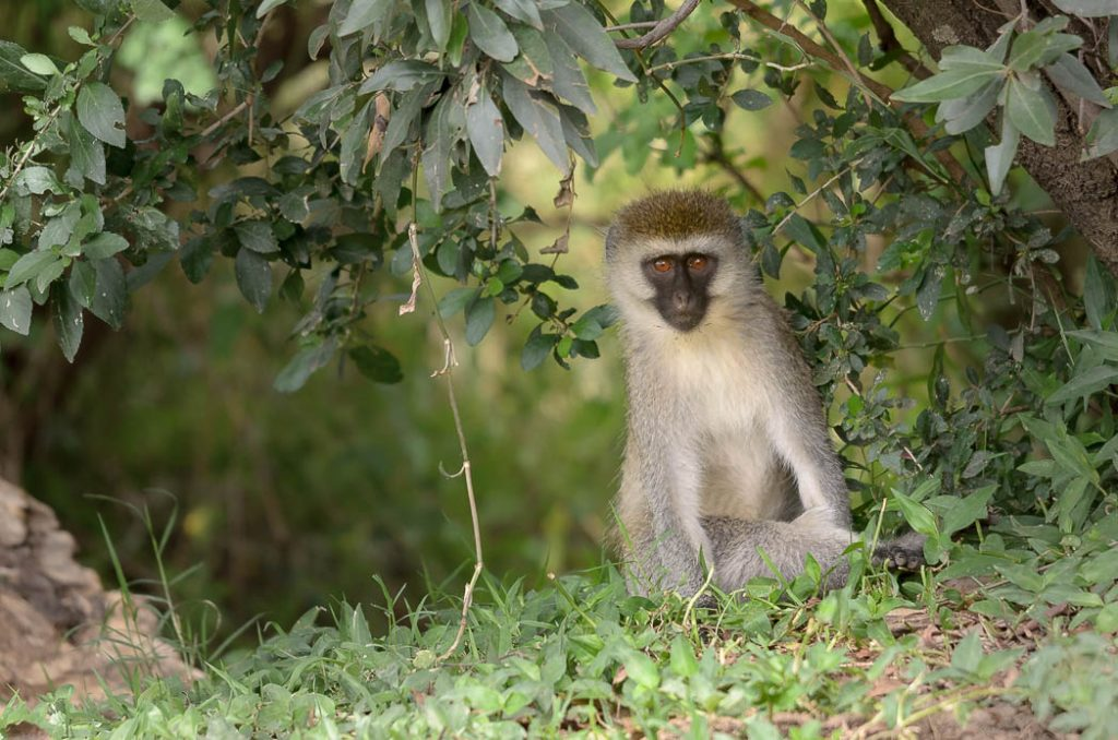Vervet monkeys have an extensive vocabulary of sounds to tell each other of the sorts of danger they might face.