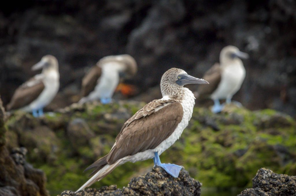 Blue-footed Boobies are common in the Galapagos.