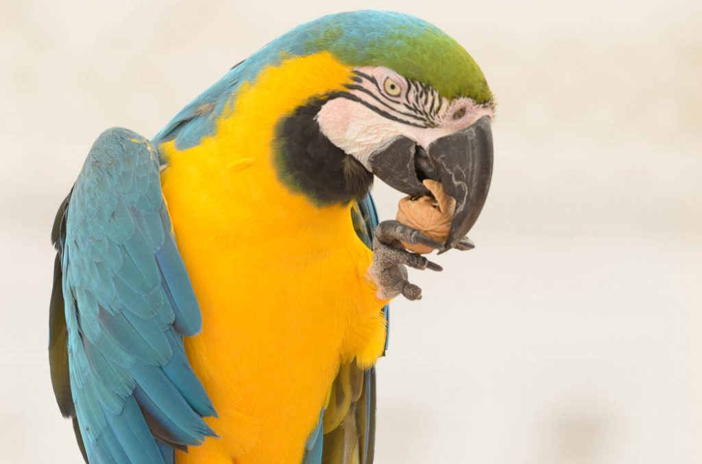 Macaws like to eat nuts, their beaks are extremely strong.