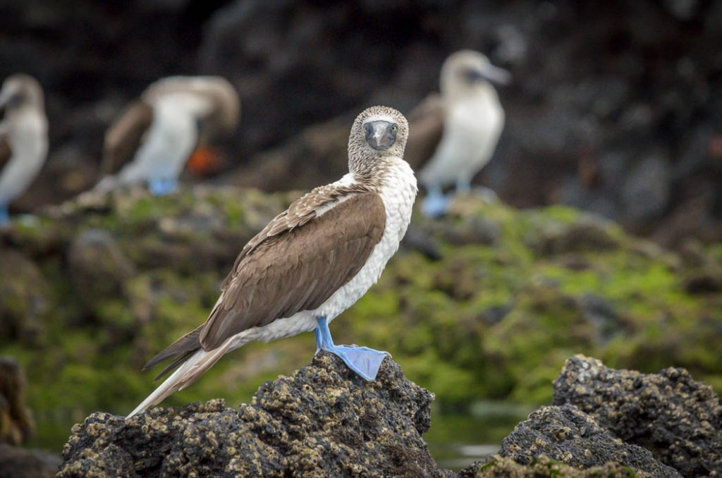 The Blue-footed Booby is endemic to the Galapagos Islands.