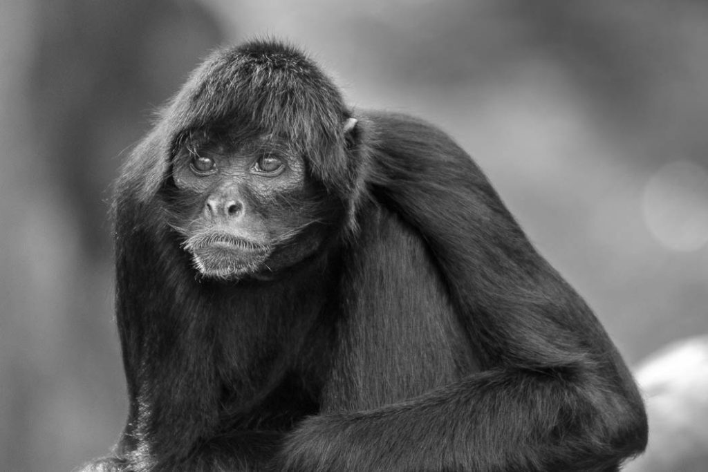Spider monkey contemplating life in a wildlife park.