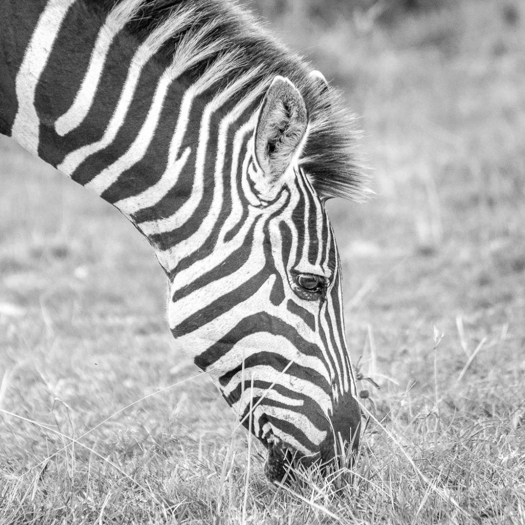 Zebra in Black and White.