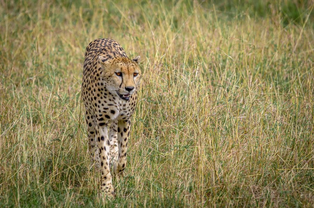 Young male cheetah out for a stroll in the late afternoon sun in the grasslands of the Masai Mara in Kenya.