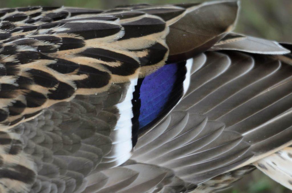 Duck Detail.