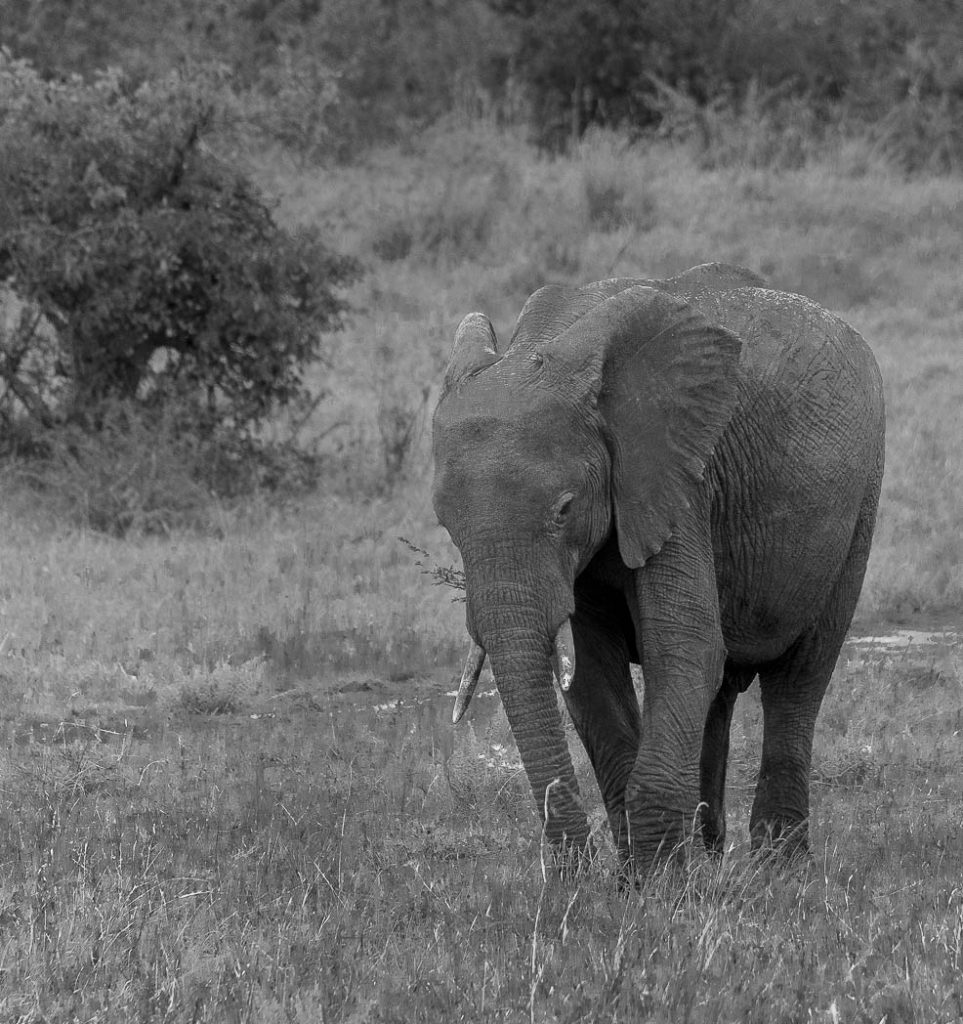 Single elephant on the plains of East Africa.