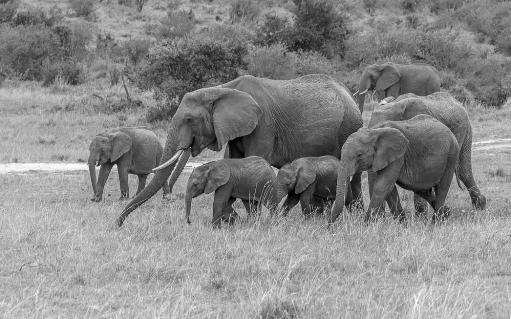 A herd of elephants gently strolling through the Maasai Mara Game Reserve.