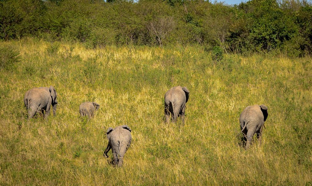 Elephants march through the grasses of the East African Savannah.