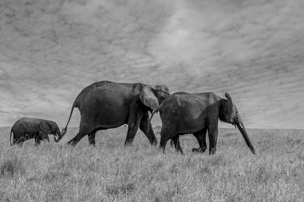 Elephants in the Masai Mara.