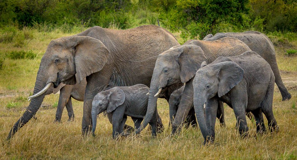 Elephants generally stay together in family groups led by a matriarch.
