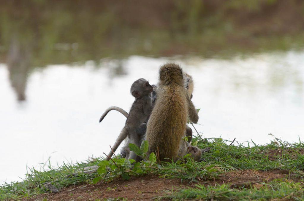 A small family group of vervet monkeys.