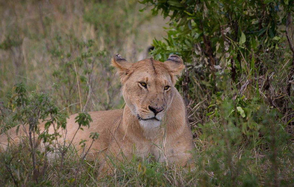 Female lion lying in the grass.