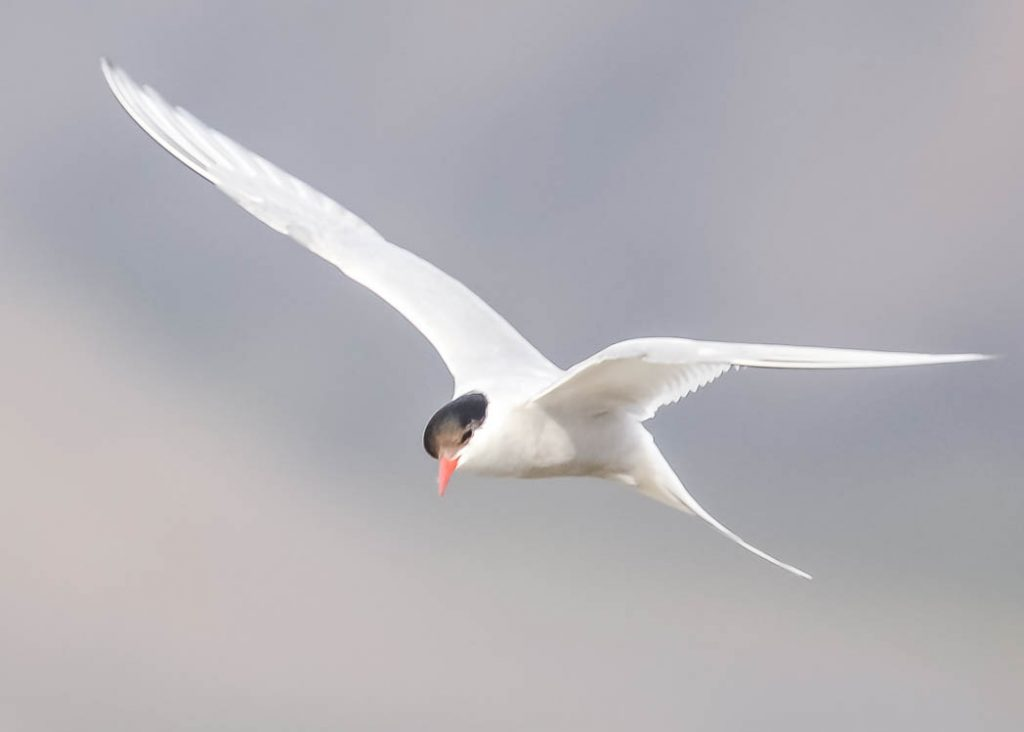 The Arctic Tern has the longest migration of any species, flying halfway round the world twice a year.
