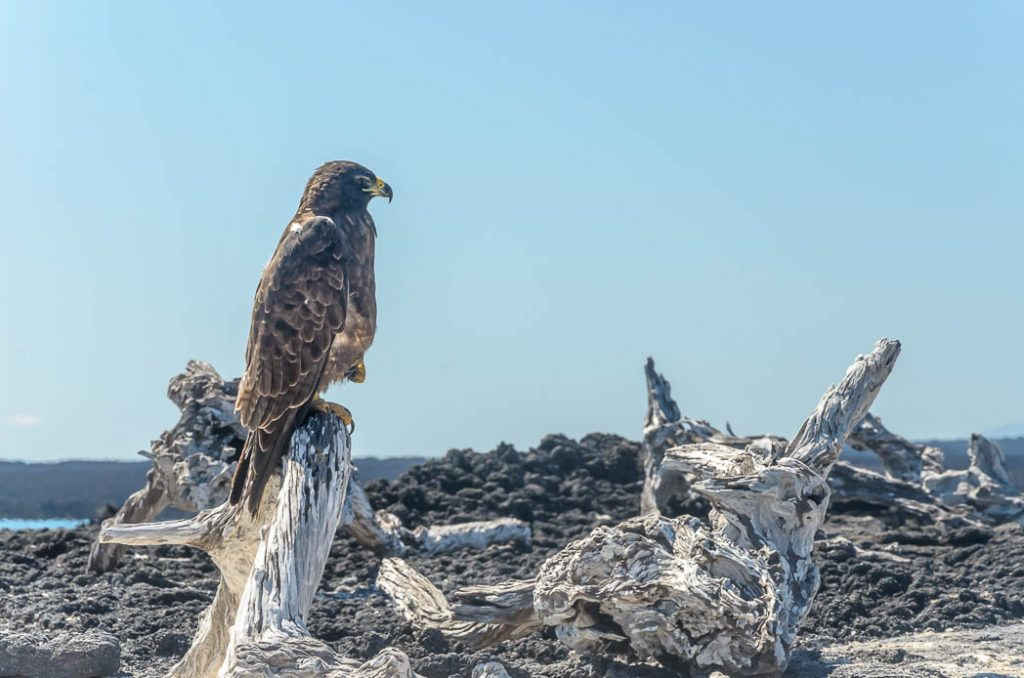 Galapagos Hawk. The birds are protected and don't fly away when you approach.