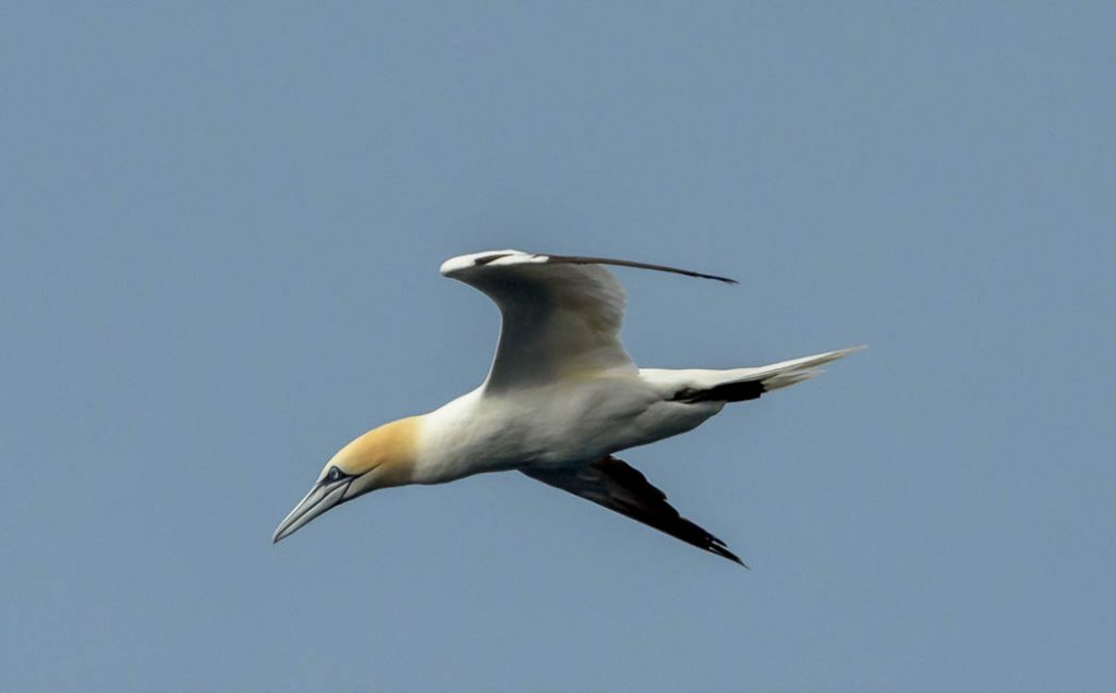 Gannets are among the most streamlined of birds so they can dive to catch fish.