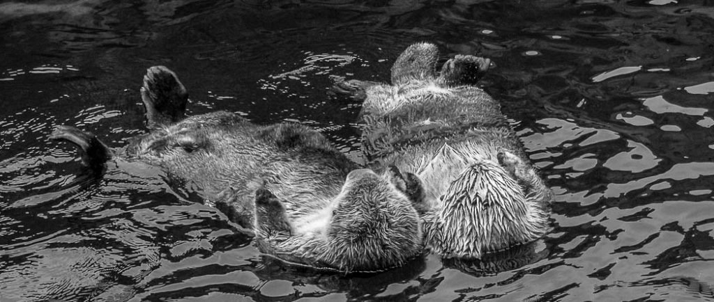 Sea Otters in British Columbia hold hands so they can stay side by side as they drift along.