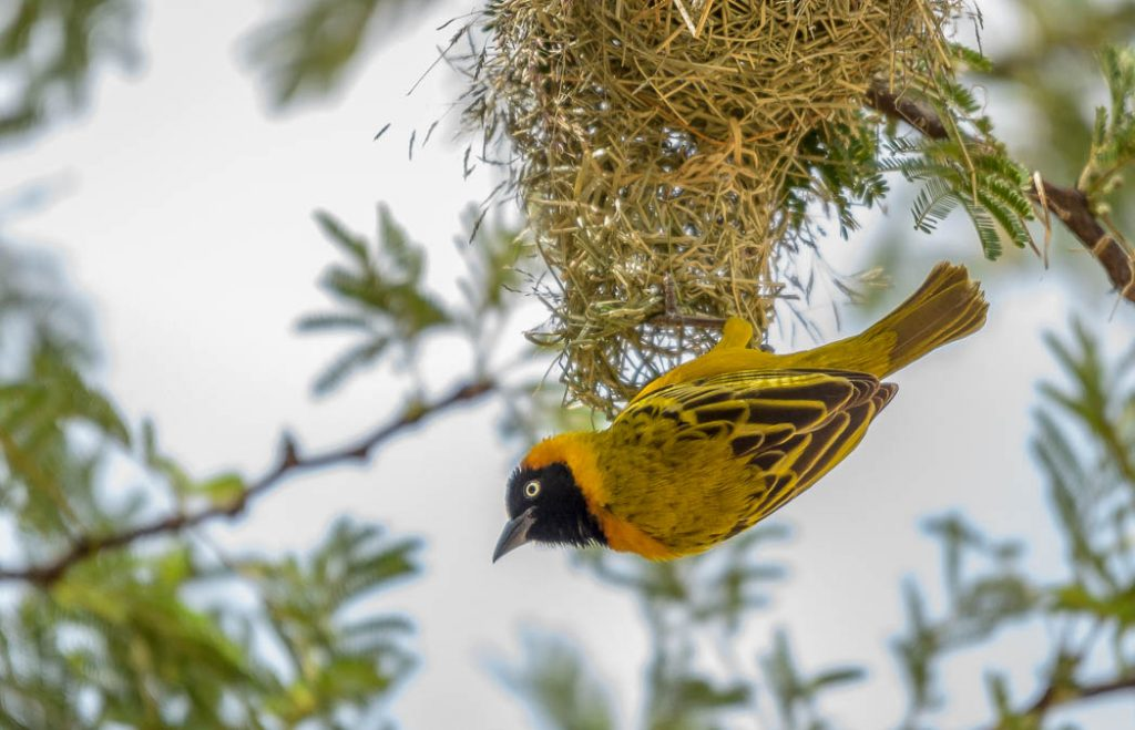 A yellow weaver building its nest in the Serengeti.