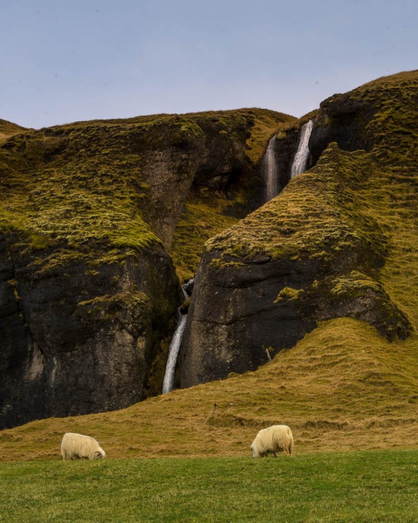 Iceland doesn't have much grazing land so the majority of their livestock is sheep.