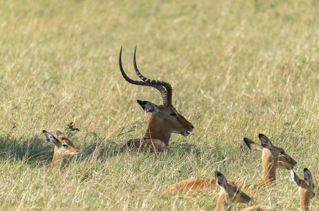 Impala generally organize themselves in a harem or young bachelor group.