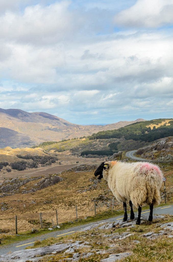 This loan sheep stands guard on the ring of Kerry.