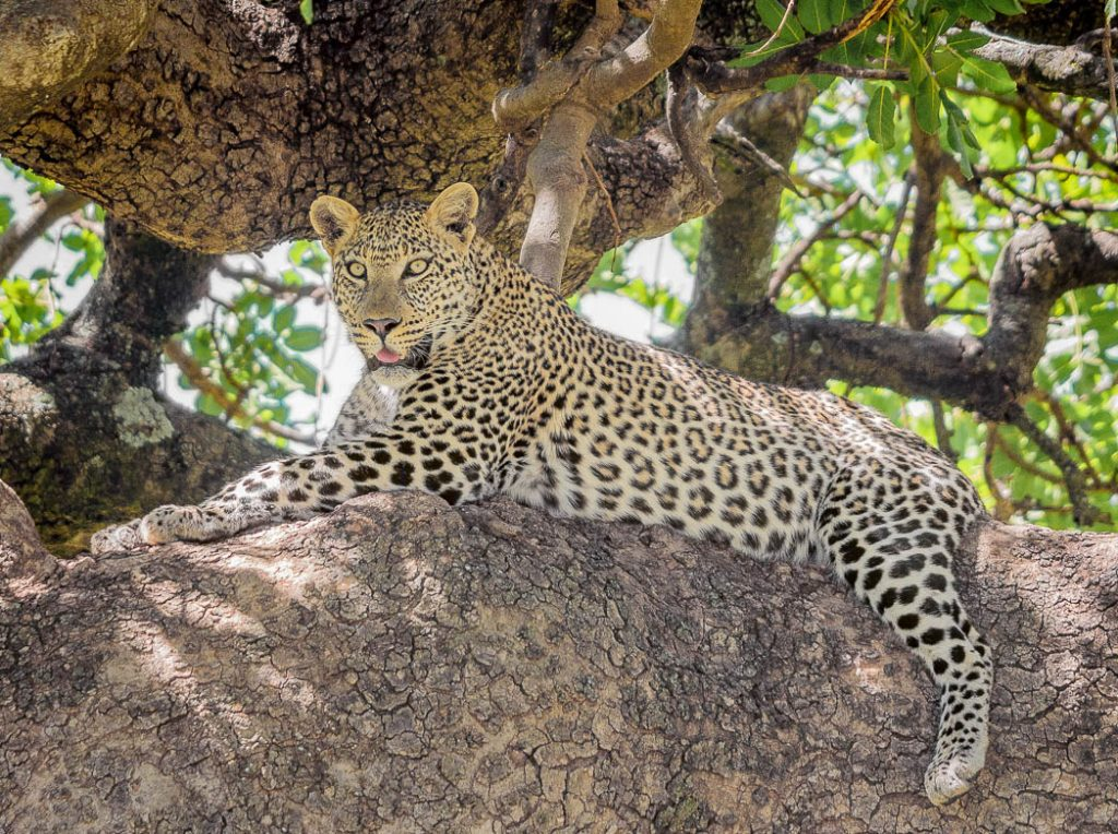 A leopard resting in a tree surveying its territory in the Masai Mara, Kenya.