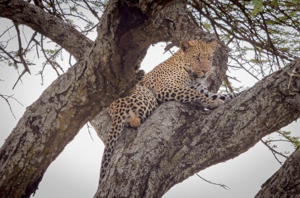 Leopards spend a lot of time in trees for security.