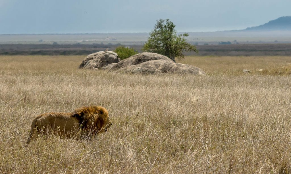 A male lion wandering through his territory.