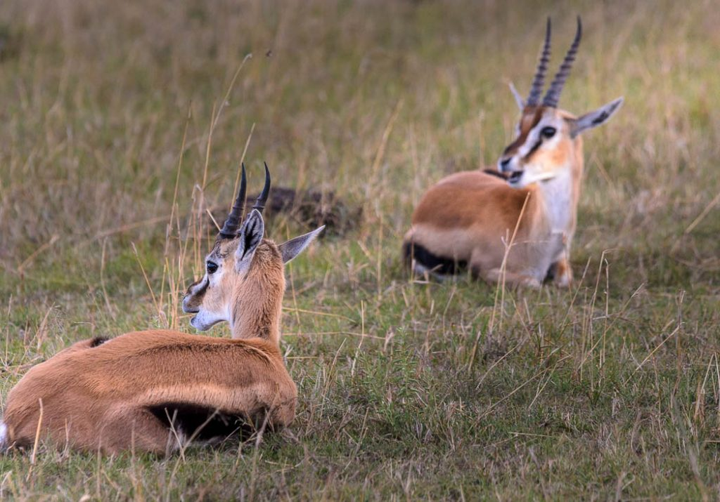 Thompsons Gazelles on the lookout for predators