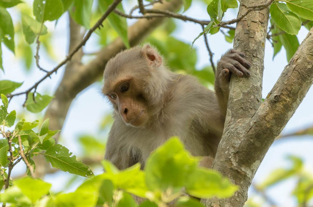Macaque Monkey in Bardia National Park