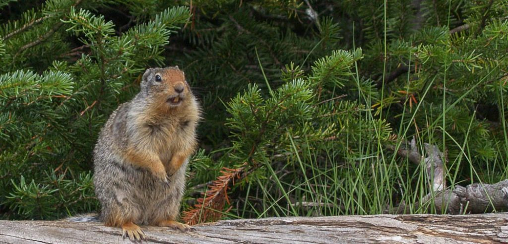 Portrait of a Marmot in Yoho National Park, Canada.