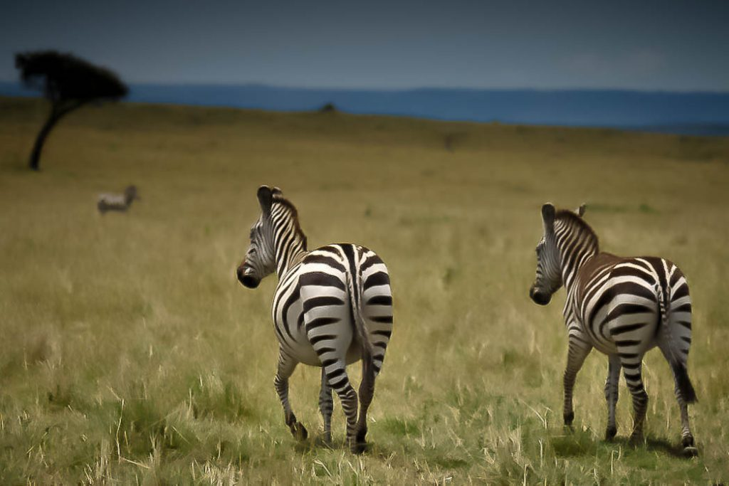 Two zebra of the quarter of a million that make up the annual migration in the Serengeti/Masai Mara system.