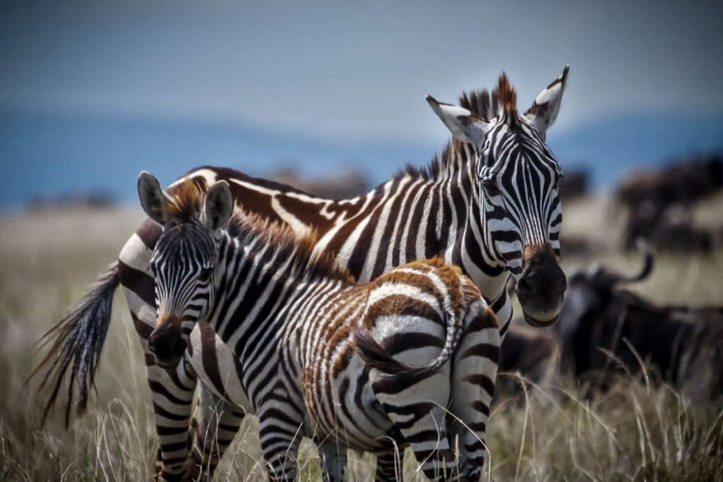 A young zebra with its mother during the great migration in the Serengeti.