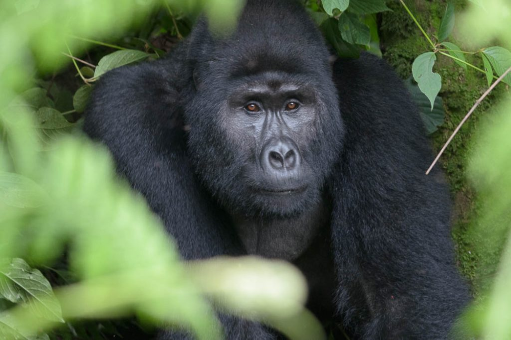 Mountain gorilla in the Bwindi Forest in Uganda. Young Adolescent.