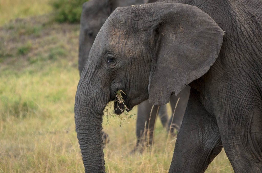 Elephants use their trunks to pick up grass and feed them selves.