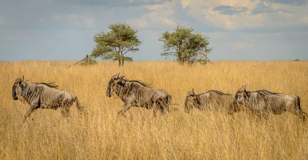 Wildebeest in a hurry to get to the next part of the migration and the new grasses.