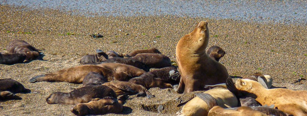Seals on the beach on Peninsula Valdez in Argentina. This is the beach famous for beaching Orcas in search of food.