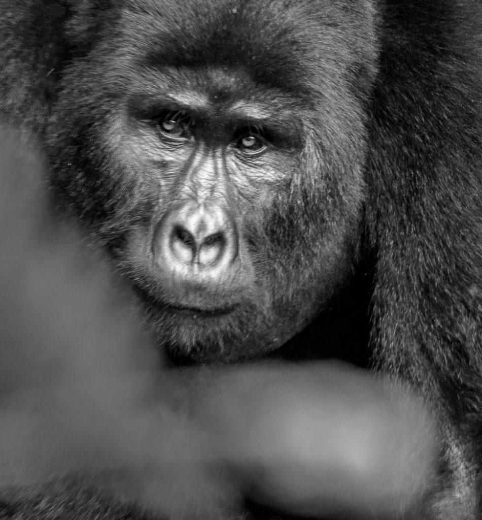 A young male mountain gorilla in Uganda.