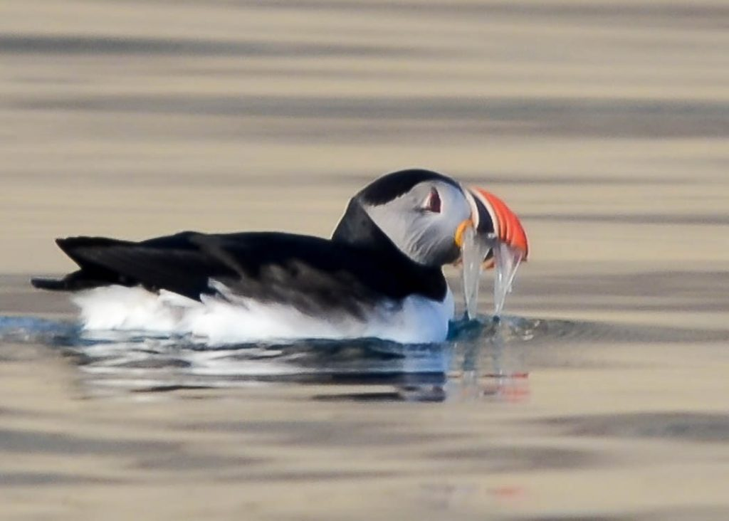 Atlantic Puffin with fish in mouth.