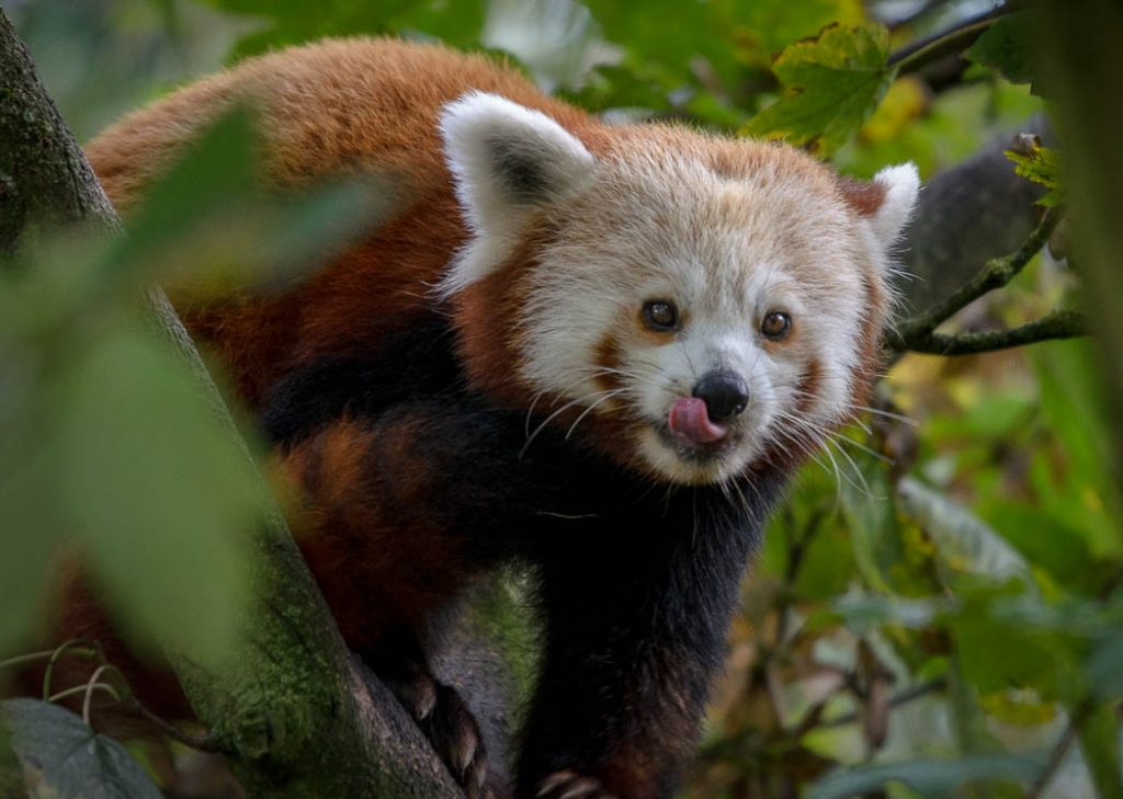 The red panda is a closer relative to the racoon than the giant panda. However it is closer in cuteness to the latter.