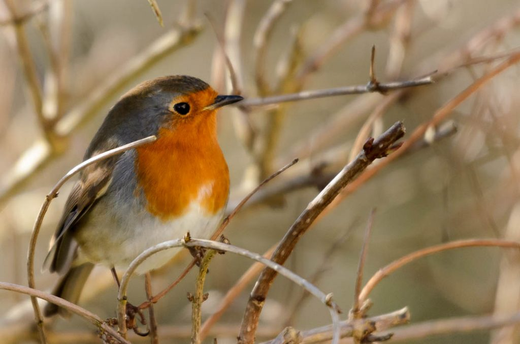 An Irish Robin claiming his terrority in the springtime.