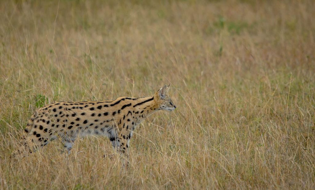 The serval is one of the lesser known of the African cats.